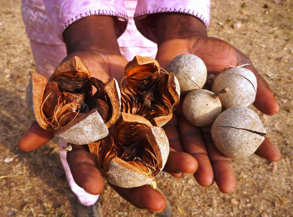 Picture of Khaya senegalensis fruits