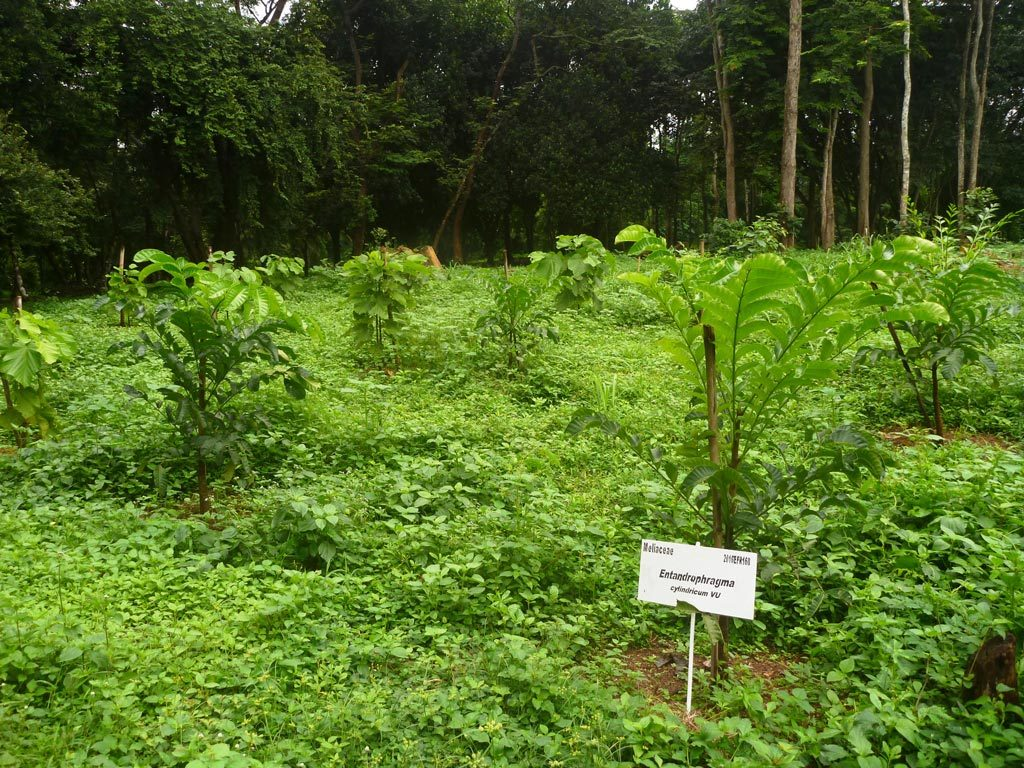 Picture of Young sapele trees (Entanrdophragma cylindricum)