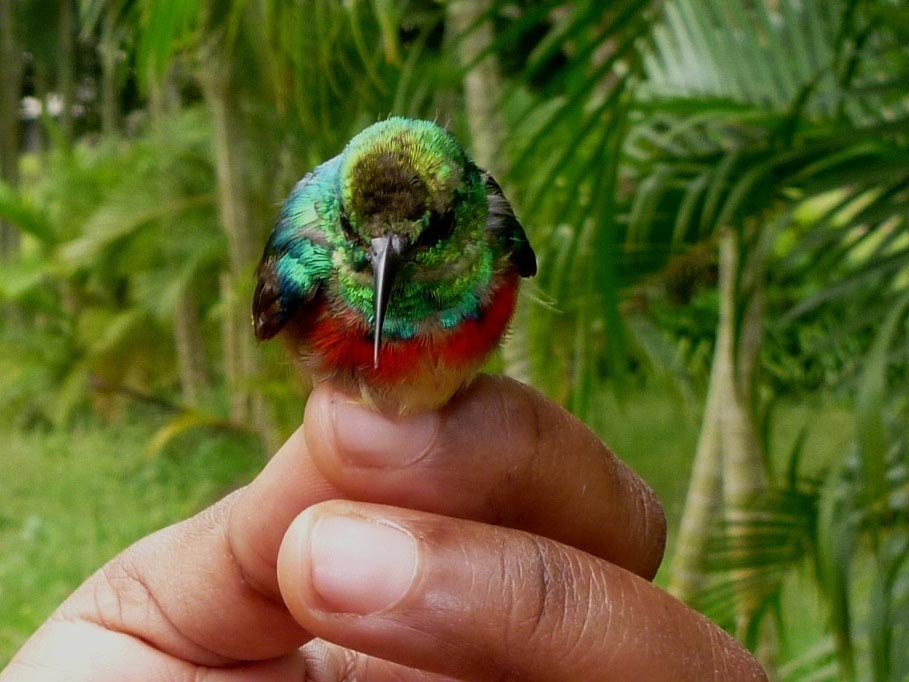 Picture of a Tiny Sunbird