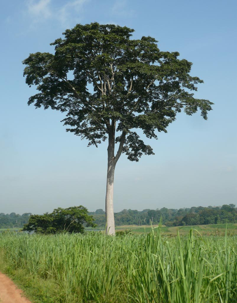 Picture of Iroko Milicia excelsa with IITA Forest Reserve in the background