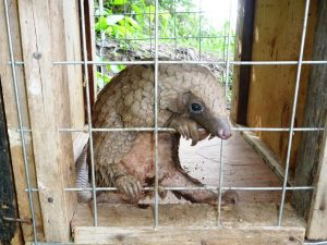 Picture of rescued pangolin before release into IITA forest
