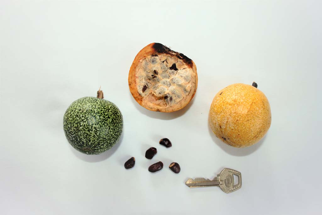 Picture of Monodora tenuifolia fruits & seeds. credits: O.Olubodun