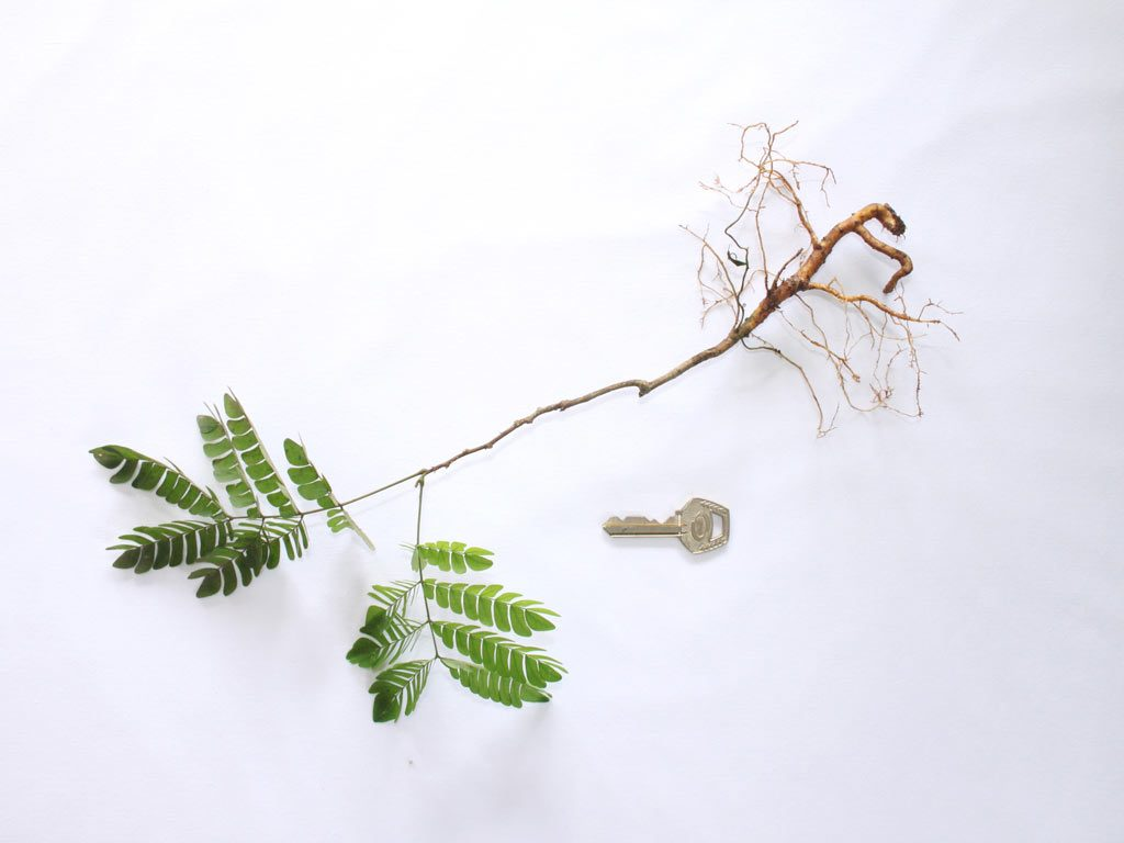 Picture of Albizia ferruginea seedling