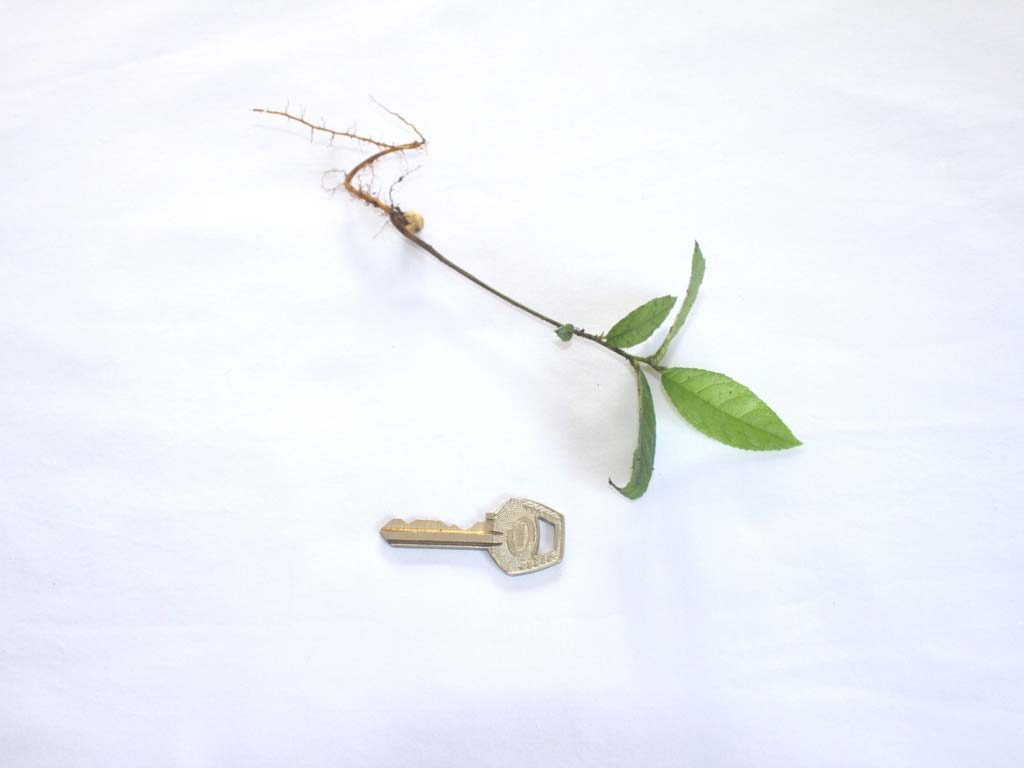 Picture of Antiaris toxicaria seedling
