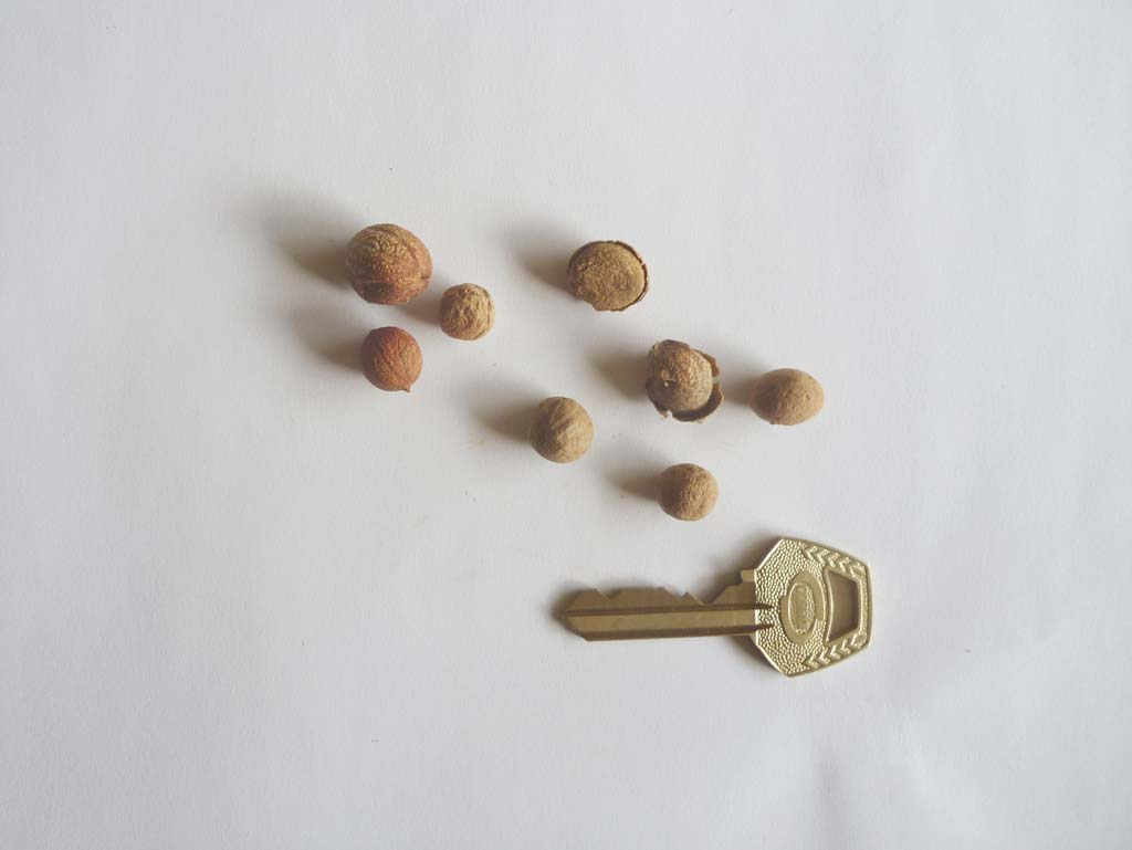 Picture of Antiaris toxicaria seeds