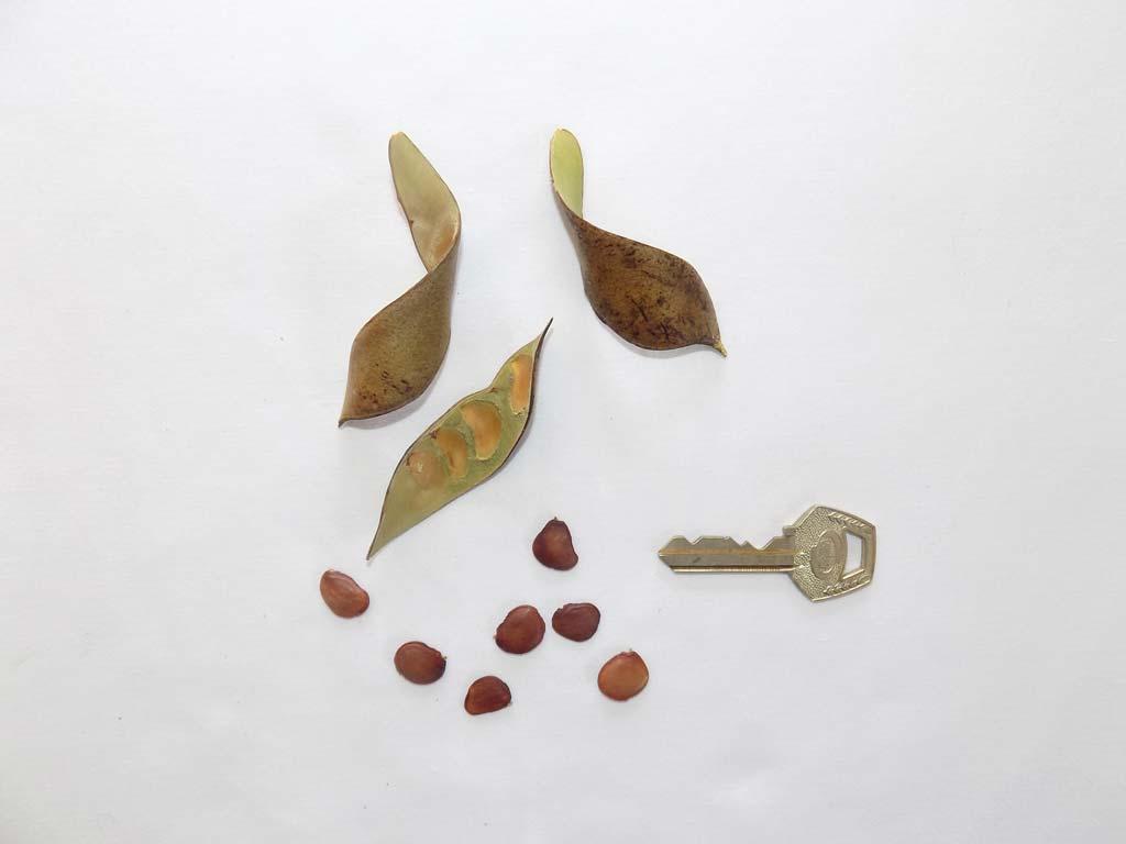 Picture of Baphia nitida fruits & seeds. credits: O.Olubodun