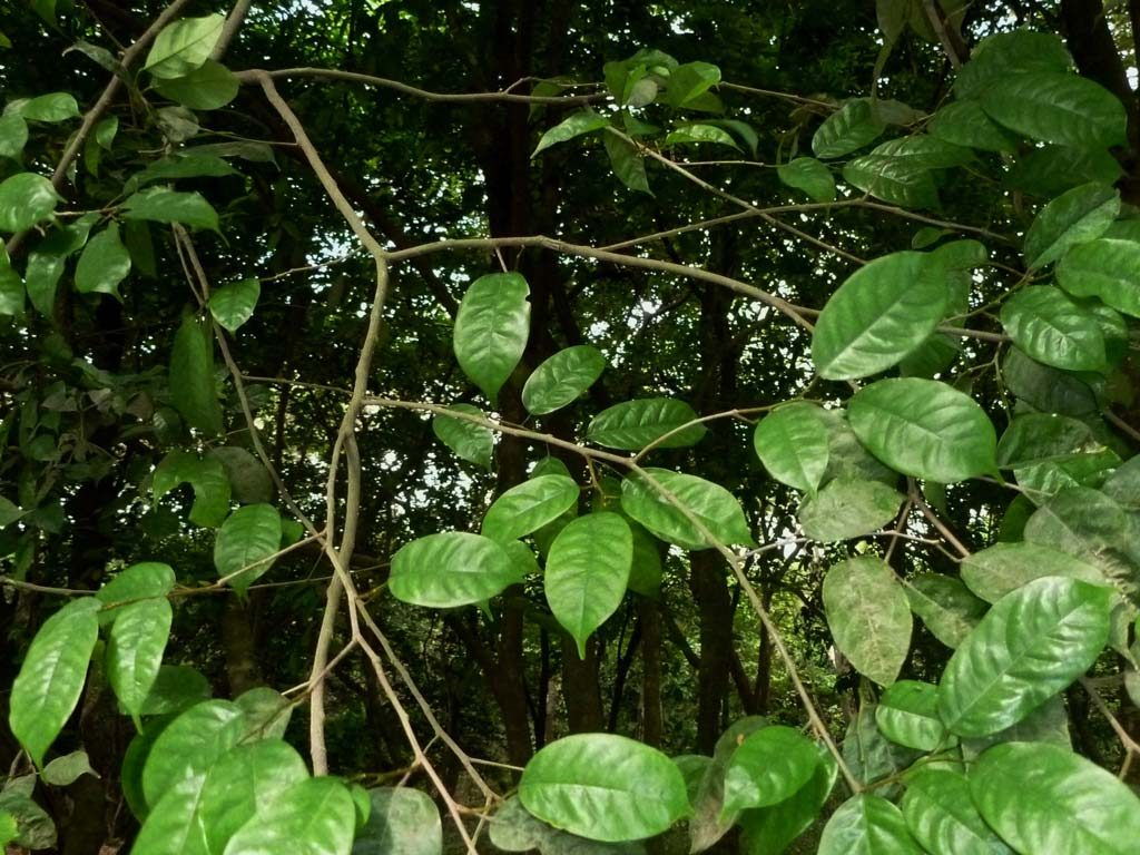 Picture of Baphia nitida leaves. credits: D.Bown