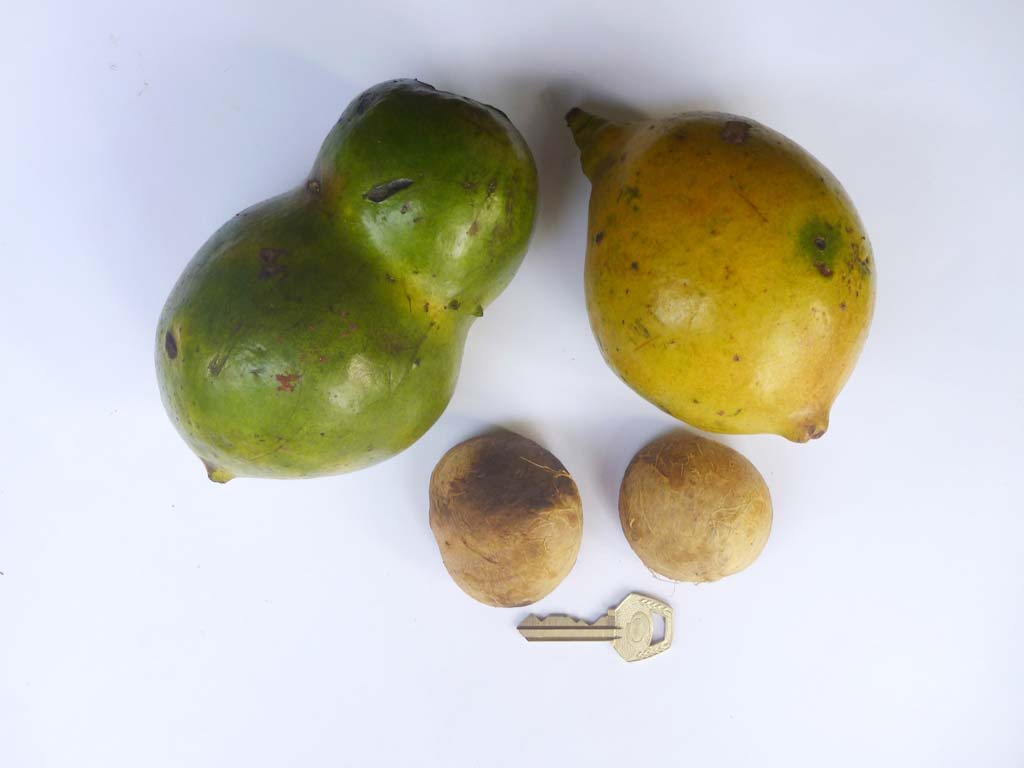 Picture of Buchholzia coriacea fruits & seeds. credits: D.Bown