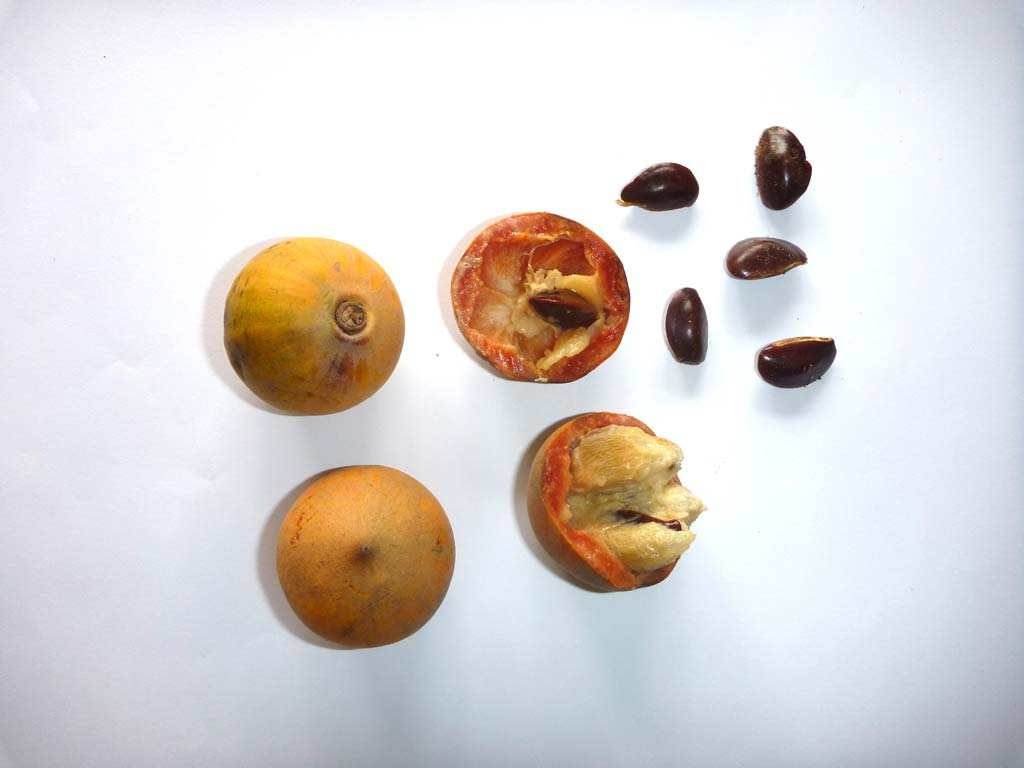 Picture of Chrysophyllum albidum fruits & seeds. D.Bown