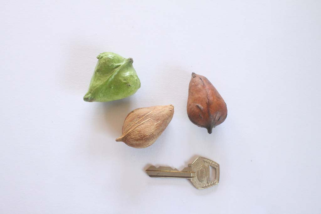 Picture of Dactyladenia barteri fruits & seeds. credits: O.Olubodun