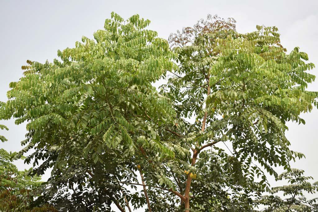 Picture of Erythrophleum suaveolens. credits: O.Olubodun
