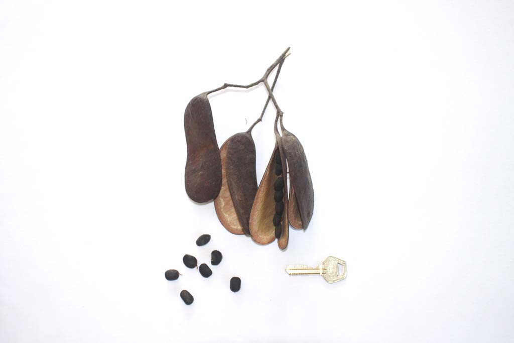 Picture of Erythrophleum suaveolens fruits & seeds. credits: O.Olubodun