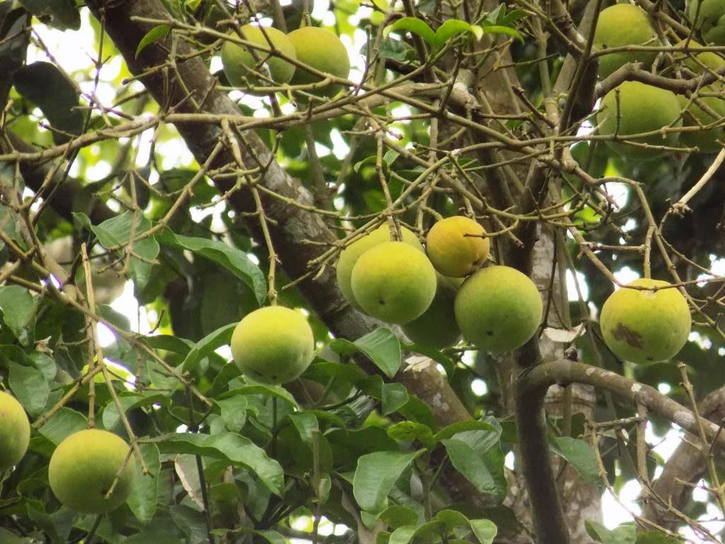 Picture of Garcinia kola fruiting. credits: O.Olubodun
