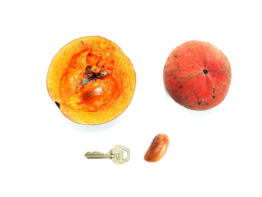 Picture of Garcinia kola fruits & seed. credits: O.Olubodun