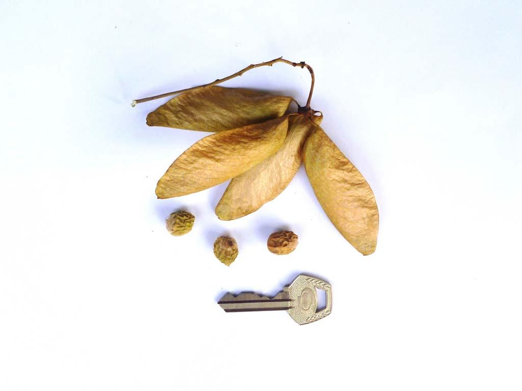 Picture of Hildegardia barteri fruits & seeds.