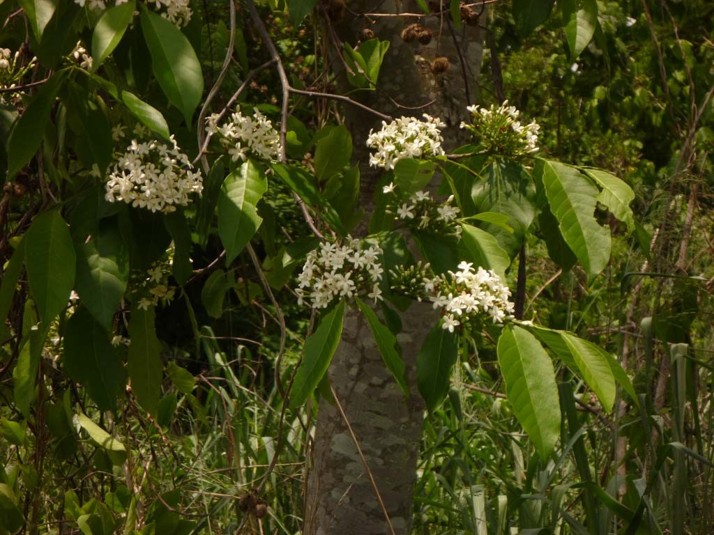 Picture of Holarrhena floribunda flowering. credits: D.Bown