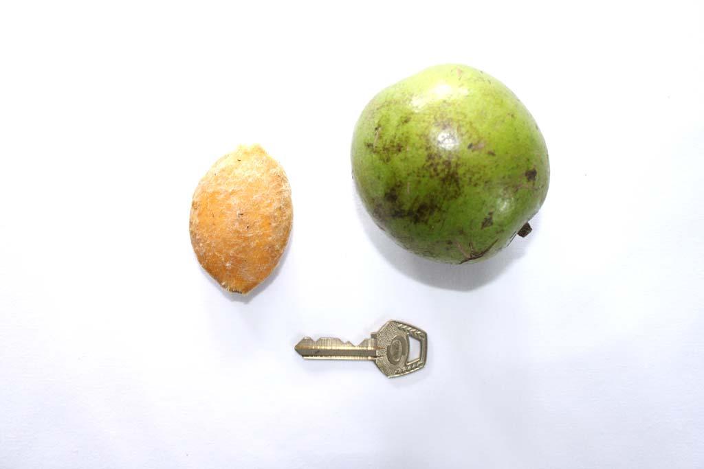 Picture of Irvingia gabonensis fruit & seed. credits: O.Olubodun