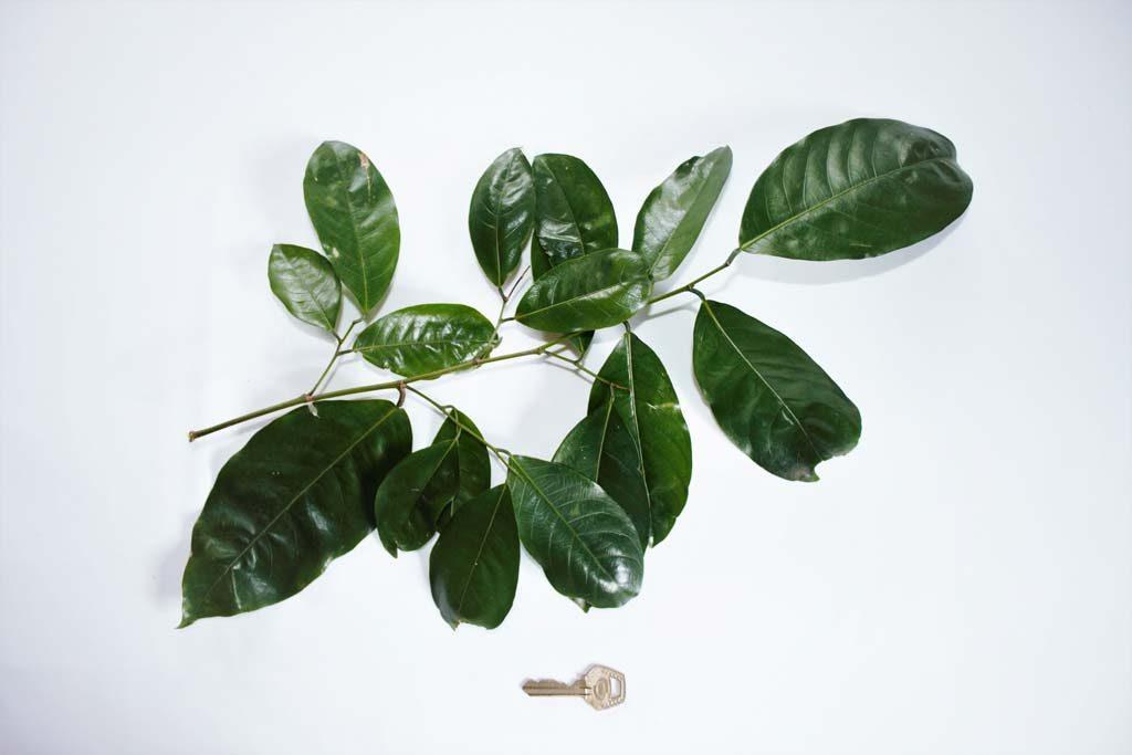 Picture of Irvingia tenuinucleata syn. I