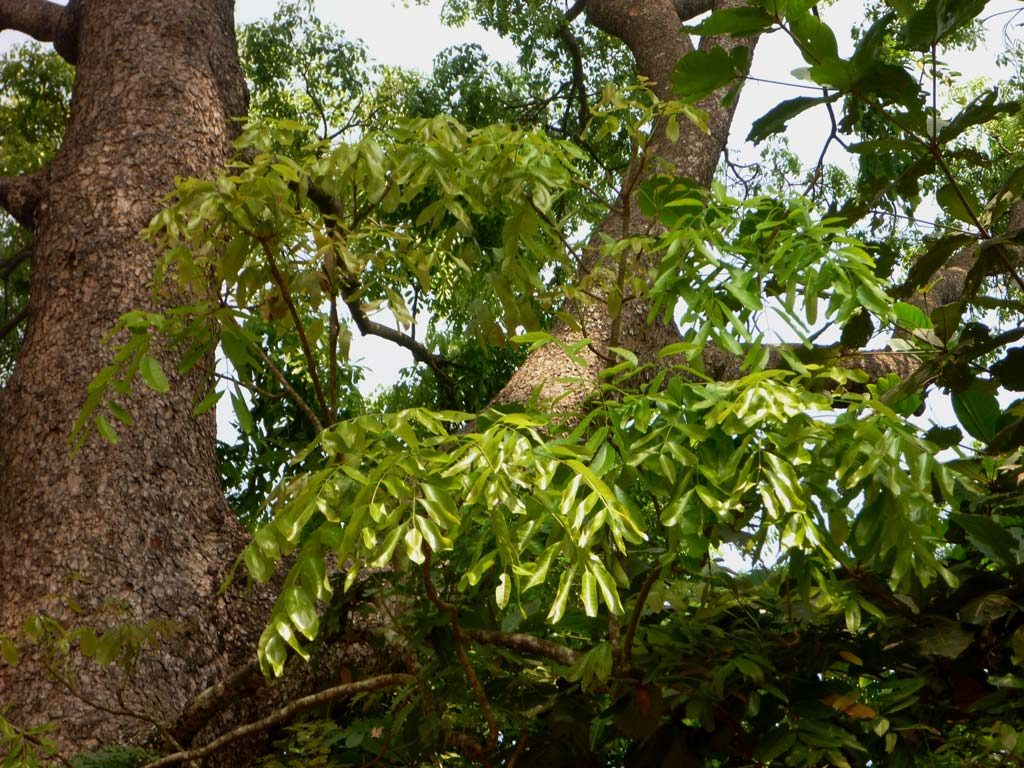 Picture of Khaya senegalensis. credits: D.Bown