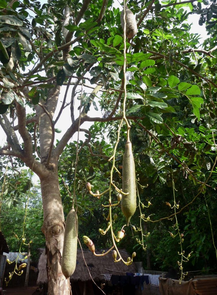 Picture of Kigelia africana flowering and fruiting. credits: D.Bown