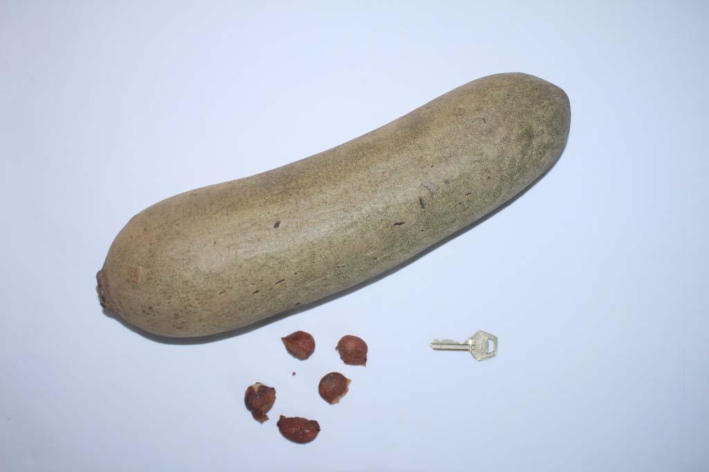 Picture of Kigelia africana fruits & seeds. credits: O.Olubodun