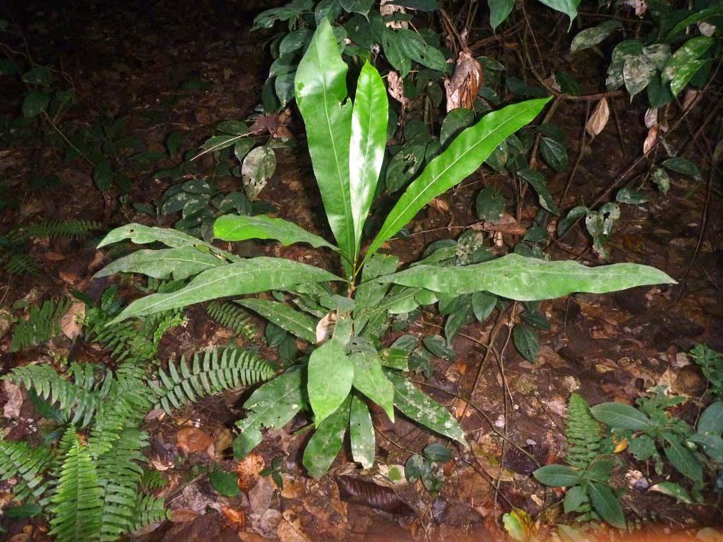 Picture of Lophira alata sapling. credits: D.Bown