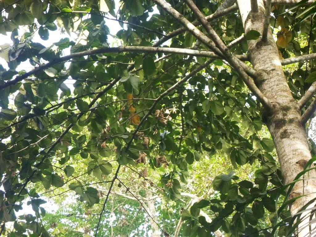 Picture of Mansonia altissima. credits: D.Bown