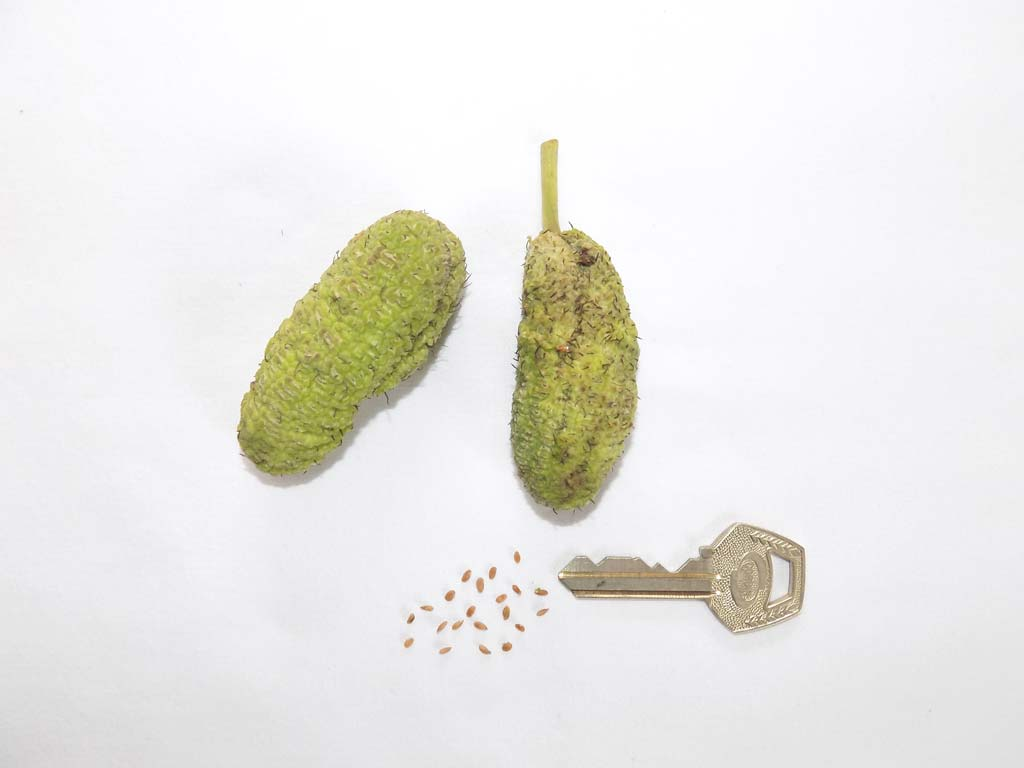 Picture of Milicia excelsa fruits. credits: O.Olobodun