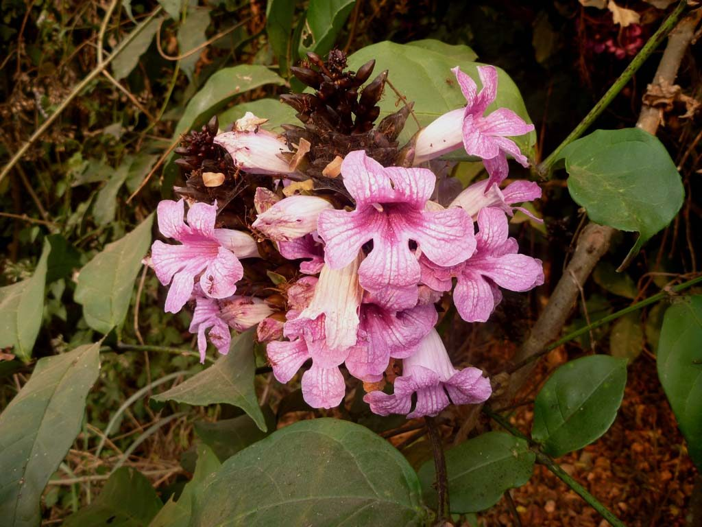 Picture of Newbouldia laevis flowering. credits: D.Bown