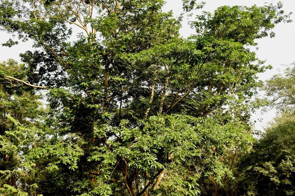 Picture of Newtonia griffoniana. credits: O.Olubodun