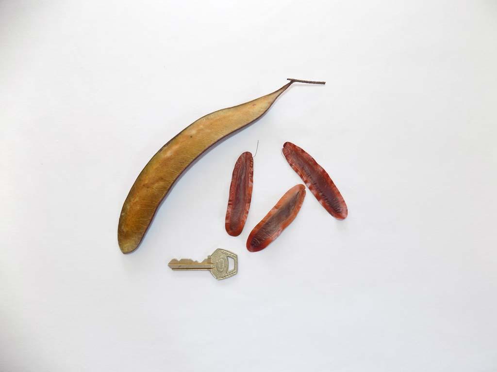 Picture of Newtonia griffoniana fruits & seeds. credits: O.Olubodun