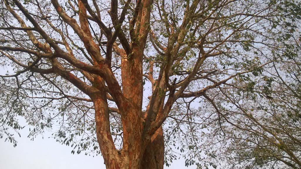Picture of Pericopsis elata. credits: O.Olasupo