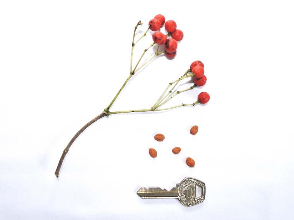 Picture of Rauvolfia vomitoria fruits & seeds. credits: O.Olubodun