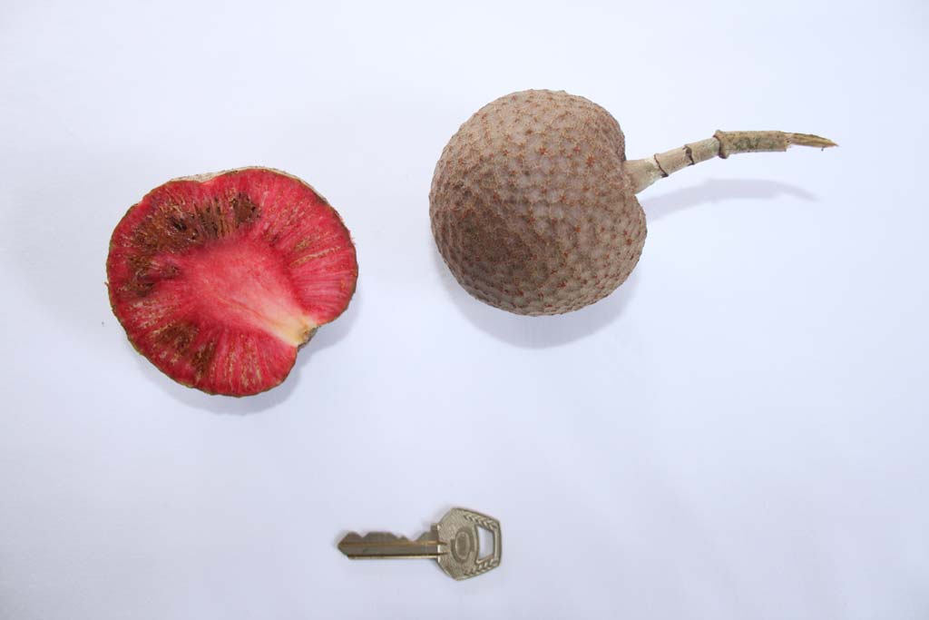 Picture of Sarcocephalus latifolius fruits. credits: O.Olubodun