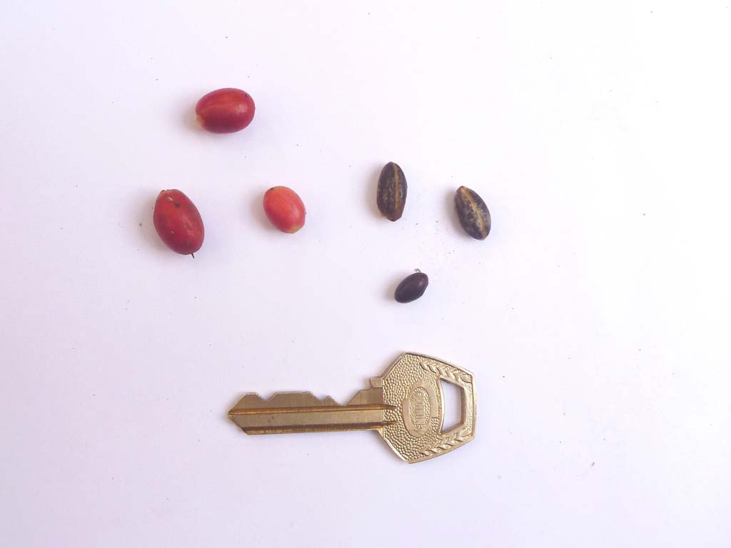 Picture of Synsepalum dulcificum fruits & seeds. credits: D.Bown