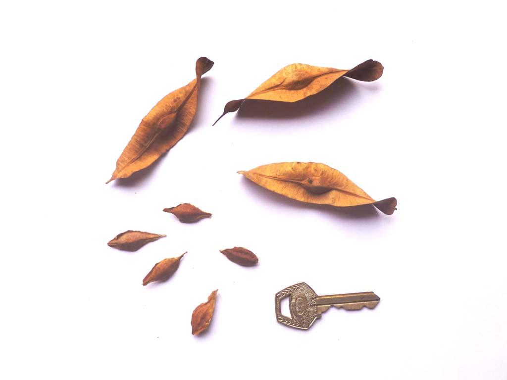 Picture of Terminalia ivorensis. credits: D.Bown