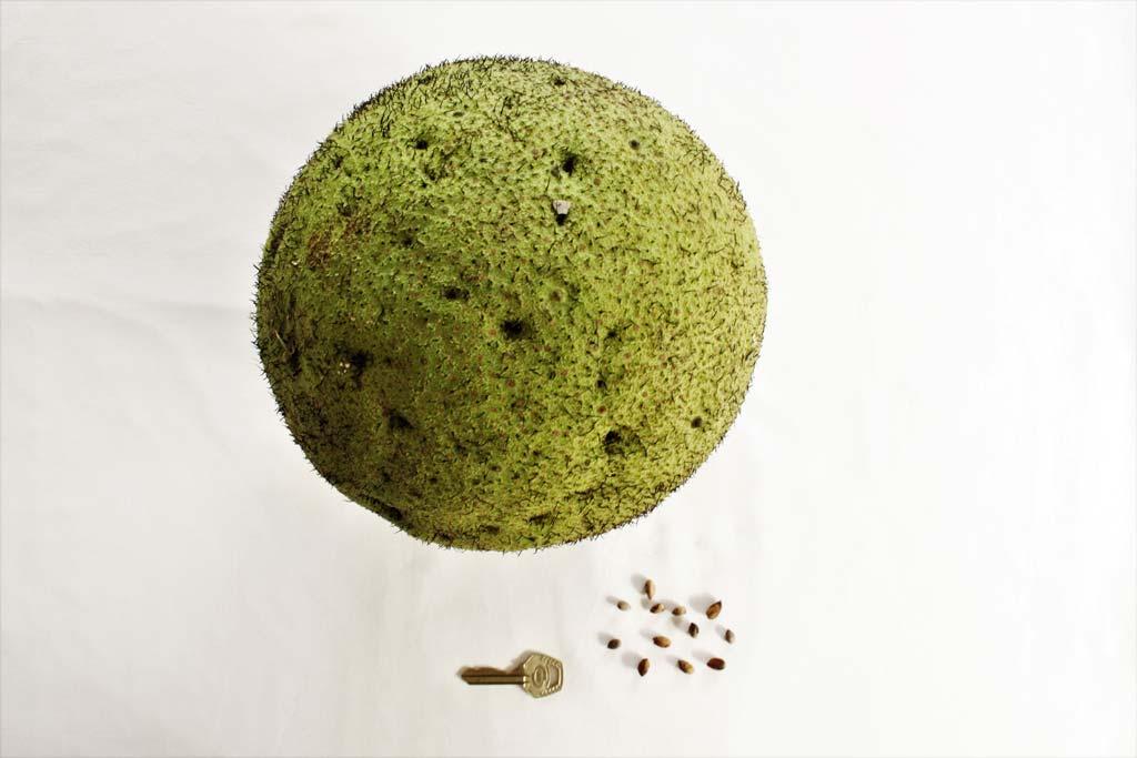Picture of Treculia africana fruit & seeds. credits: O.Olubodun