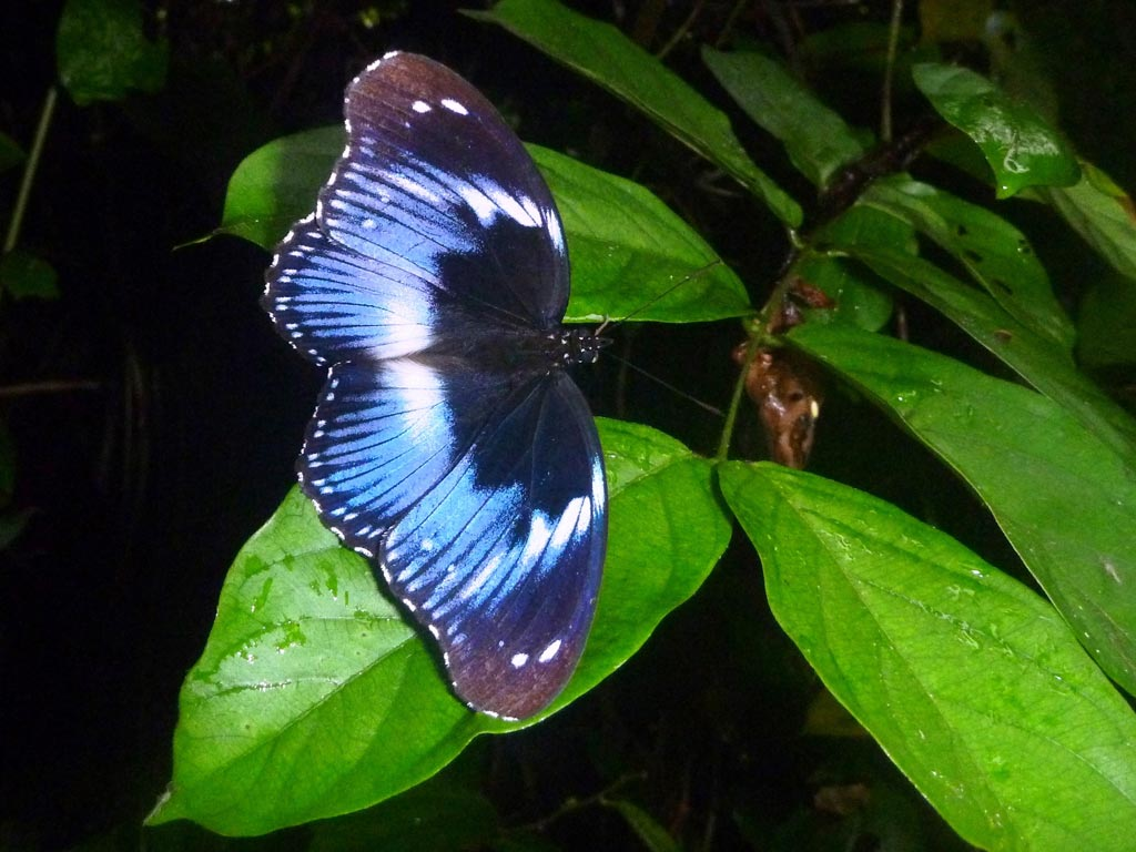 Picture of Hypolimnas salmacis (blue diadem)