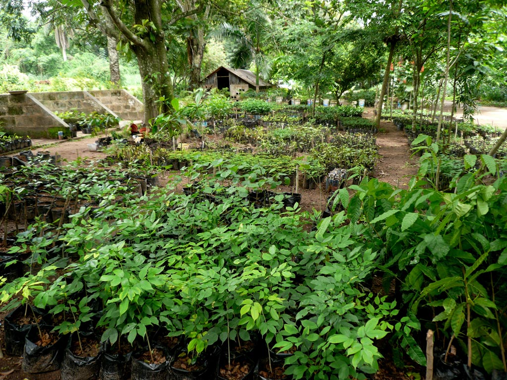 Picture of Young trees in IITA Forest Project nursery